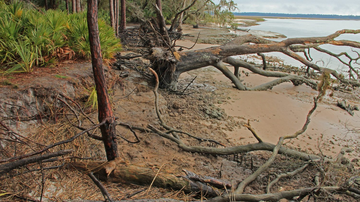 A fallen tree due to coastal erosion at Brikckhill Bluff, Cumberland Island, GA.