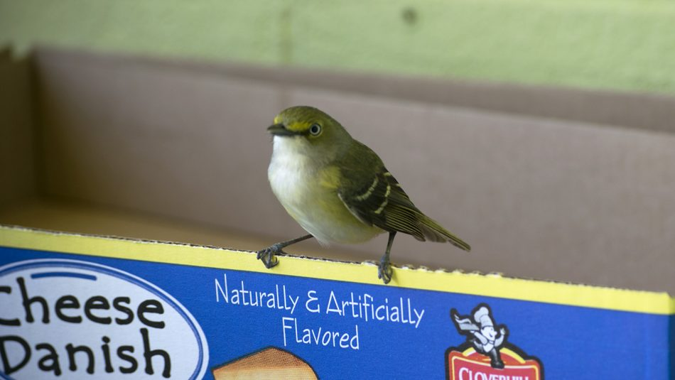 Close up of White-eyed vireo bird species