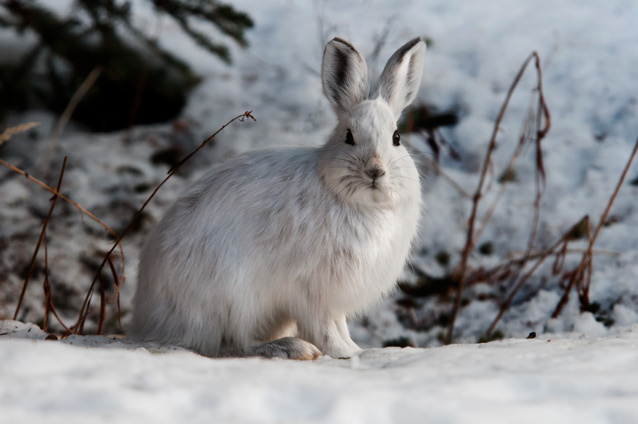 Snowshoe hare in snow
