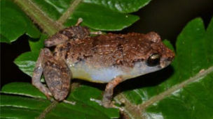 The species, E. wightmanae, melodious coqui, sitting on a leaf.